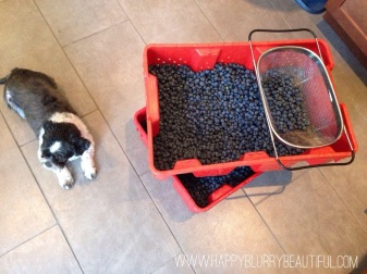 Last year's blueberry haul